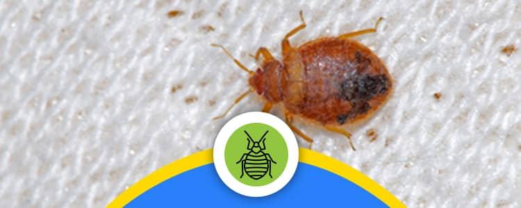Bed Bug Control Garran