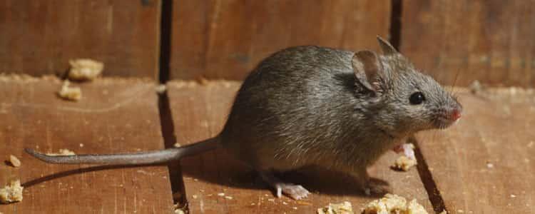 Rodent Control Garran